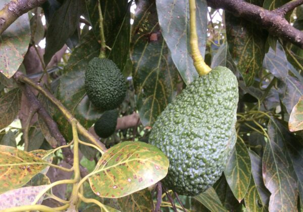 Sicilian avocado