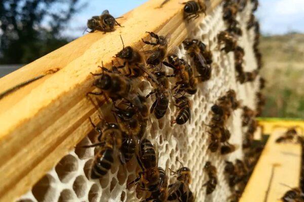 Miele, sull'Etna la storia dei custodi dell'ape nera sicula